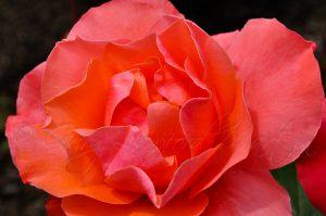 Corail dans la couleur d'une rose