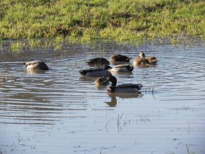 Mare aux canards