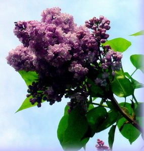 Un petit brin de lilas